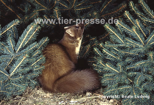 Baummarder im Winterfell / Pine marten with winter-coat