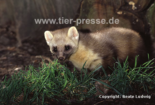 Baummarder, F�he, helle Farbvariante  / Pine marten, female, lighter colour variation
