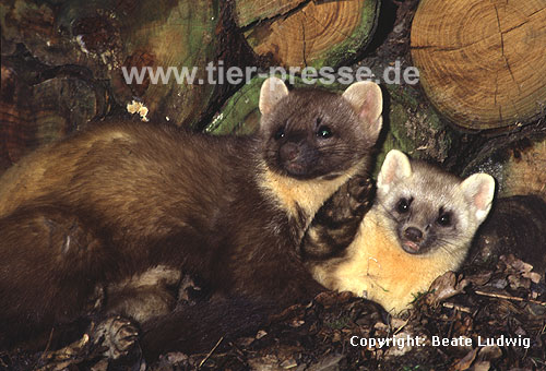 Baummarder-Paar, links: R�de, rechts: F�he, helle Farbvariante / Pine marten pair, left: male, right: female, lighter colour-variation