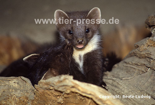 Baummarder F�he (links) und Jungtier (rechts) / Pine marten female (left) and cub (right)