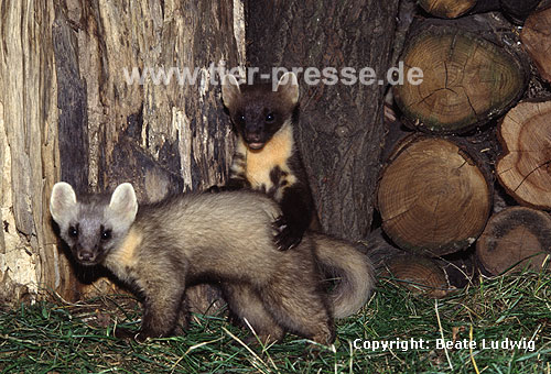 Baummarder, spielende Jungtiere, eines in heller Farbvariante / Pine marten, cubs, playing, one cub a lighter colour-variation