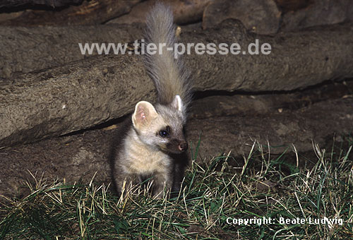 Baummarder, Jungtier, helle Farbvariante / Pine marten, cub, lighter colour-variation