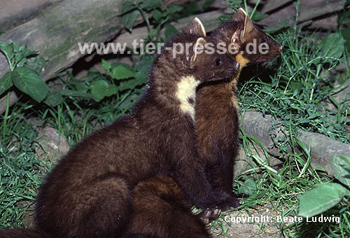 Baummarder, F�he (rechts) mit Jungtier (links) / Pine marten, female (right) with cub (left)
