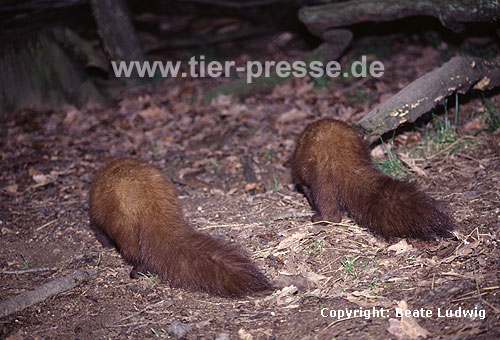 Baummarder-Paar (Winterfell) / Pine marten, pair (winter-coat)