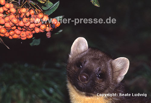 Baummarder mit Vogelbeeren (Eberesche) / Pine marten with berries of the mountain-ash