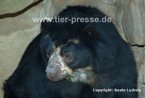 Brillenb�r, Andenb�r / Spectacled bear
