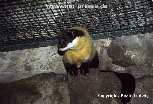 Buntmarder, Charsa im Zoo / Yellow-throated marten in a zoological garden