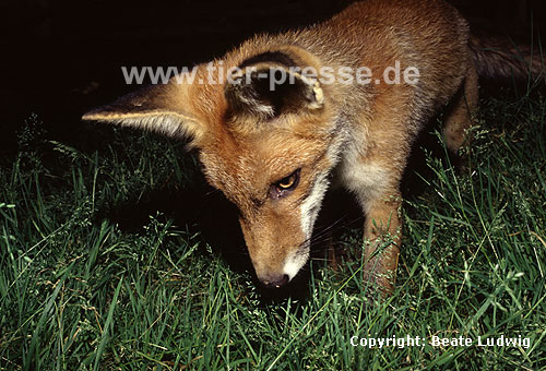 Rotfuchs, junger R�de / Red fox, young male / Vulpes vulpes