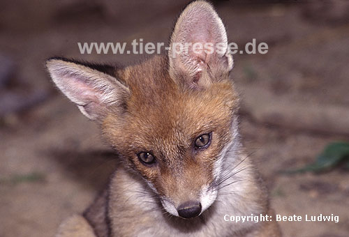 Rotfuchs, junger R�de / Red fox, young male, playing / Vulpes vulpes