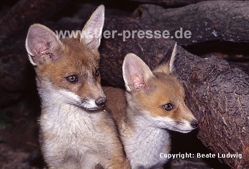 Rotfuchs, junger R�de und junge F�he / Red fox, young male and young female / Vulpes vulpes