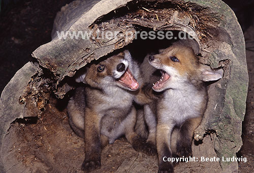 Rotfuchs, junger R�de und junge F�he beim Spielen, mit Spielgesicht / Red fox, young male and young female playing, showing open-mouth play-face / Vulpes vulpes