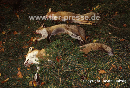 Rotf�chse, auf Treibjagd erlegt / Red foxes, killed by hunters / Vulpes vulpes