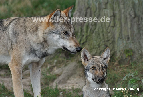 Wolf, Adulter und Jungtier / Gray Wolf / Canis lupus