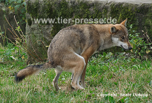 Wolf kotet / Grey Wolf, defecating / Canis lupus
